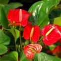 Ý nghĩa của hoa hồng môn