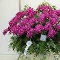 Hướng dẫn cách trồng và chăm sóc hoa lan hồ điệp