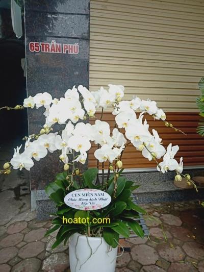 Chậu hoa hồ điệp 10 cây - DH728