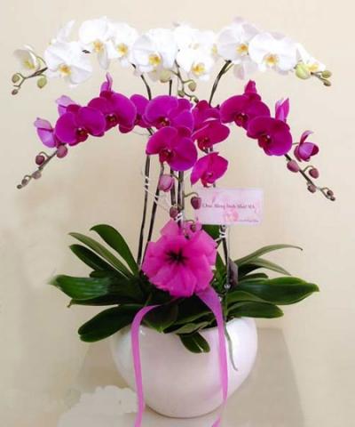 Chậu hoa lan hồ điệp - DH340