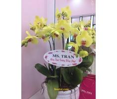 6 cây lan hồ điệp màu vàng - DH502