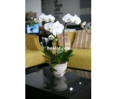 Chậu hồ điệp 3 cây màu trắng- DH536