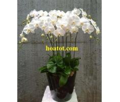 Khóm hồ điệp trắng đẹp - DH537