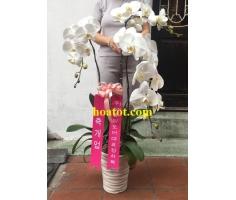 Chậu hồ điệp 3 cây đẹp - DH622