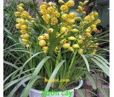 Hoa địa lan - DH601