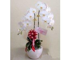 Hoa lan hồ điệp - DH425