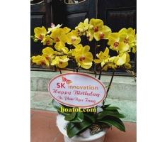 Chậu hồ điệp 6 cây màu vàng - DH708